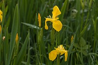 Yellow Iris or Yellow Flag (Iris pseudacornis). Growing in a roadside ditch. May. Spring. Drained marshland. Hickling. Norfolk.
