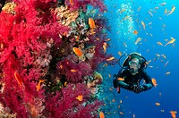 Diver looks at coral reef, Red Sea, Egypt, Africa.