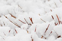 Shrub branches covered with heavy snow, natural background