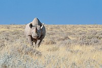 Black rhinoceros (Diceros bicornis), male standing in dry grass, Etosha National Park, Namibia, Africa.