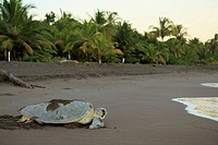 Female green turtle (Chelonia mydas) covering her nest at sunrise in Tortuguero National Park, Costa Rica. October 2014.