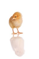 Cute chick standing or walking, isolated on white with reflection