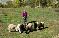 Morocco Taddart in Atlas Mountains old woman sheep herder with sheep in fields of mountains.