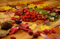 Perfect Red Ashberry with Autumn Leaves and Chestnut closeup on wood background . Selective Focus