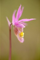 Calypso bulbosa - Fairy Slipper flower, Kootenay Plains, Alberta, Canada