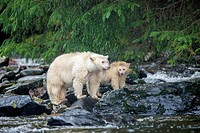 Mother Spirit bear (Ursus americanus kermodei) and yearling cub fishing at a salmon stream, Great Bear Rainforest, British Columbia central coast, Can...