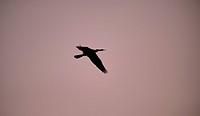 Oriental darter, Flying, Thailand, Anhinga, bird, palmipede, flight, anhinga malanogaster