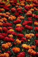 Tulipa Orange Princess, Red Princess