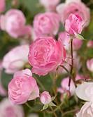 Rosa Mozarts Lady