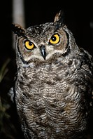 Great Horned Owl (Large format sizes available)