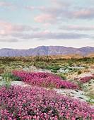 California, Anza Borrego Desert State Park, Sand Verbena Wildflowers (Abronia villosa) below a mountain range in the desert. (Large format sizes avail...