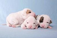 American Bulldog Baby