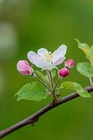 apple blossom - , 05/02/2015