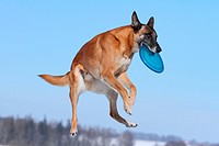 playing Malinois