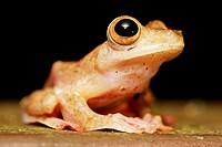 Harlequin Tree Frog (Rhacophorus pardalis) in Kubah national park, Sarawak, Malaysia, Borneo.
