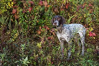 Female German Shorthair Pointer in early autumn vegetation; Canterbury, Connecticut, United States of America