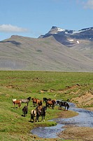 Horse, Icelandic Pony, adults, herd standing beside stream on tundra, Iceland, July