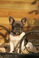 young french bulldog