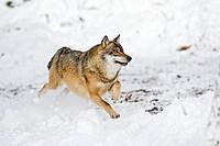running greywolf