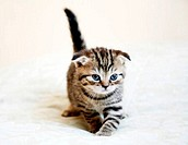 Striped Scottish fold kitten with blue eyes