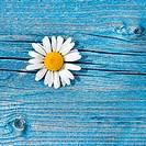Beautiful wild chamomile flower