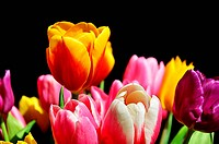 Detail photo of colored tulips