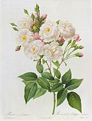 Rosa Noisettiana, from'Les Roses', 19th century 9coloured engraving), Redoute, Pierre Joseph (1759-1840) / Lindley Library, RHS, London, UK / Bridgema...