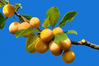 Yellow Plum Branch