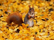 European red squirrel, Eurasian red squirrel (Sciurus vulgaris), red squirrel standing erect in autumn foliage and eating, Germany, Saxony