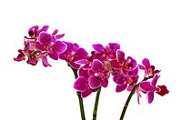 Orchid (Orchidaceae Phalaenopsis)