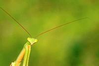 tenodera mantis