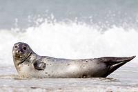 common harbor seal