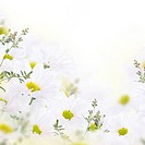 Spring bouquet of daisies, floral background