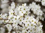Flowers of Blackthorn or Sloe (Prunus spinosa), Burgenland, Austria