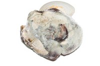 Oysters isolated on white background sea.