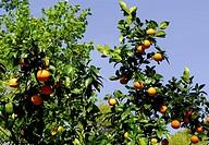 mandarine tree