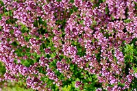 Thyme background