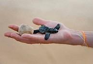 Loggerhead Turtle baby(Caretta carretta) and egg on hand