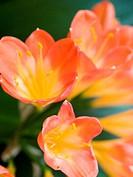clivia blossoms