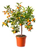 small citrus tree in the pot isolated on white