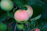 apple on branch