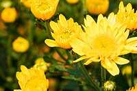 Beautiful yellow chrysanthemum flowers