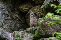 Eurasian eagle owl (Bubo bubo) chicks / fledglings sitting in nest on rock ledge in cliff face