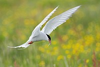Arctic Tern (Sterna paradisaea) in flight with little fish in beak, with yellow flowers in background, Iceland.