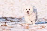 Puli in Snow