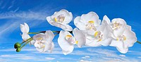 White Orchids over Blue Sky