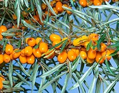 Branches of seabuckthorn