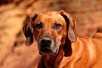 Rhodesian Ridgeback Portrait