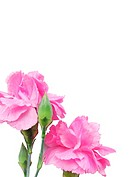 two white isolated carnation flower
