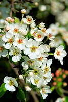 flowering of pear tree 55